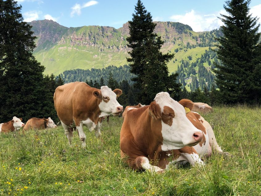 picture of cows